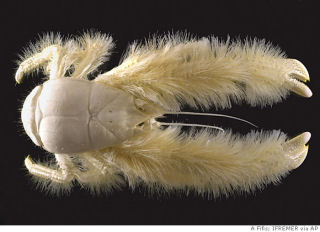 ga_hairy_lobster.jpg